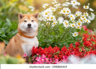 Young shiba inu dog sitting in flower bed of daisy and red flowers and green grass at summer nature