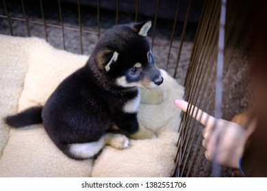 Young Shiba Inu puppy looking at a kid's finger in Tokyo, Japan.