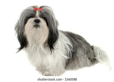 Young Shih Tzu puppy dog. Shot isolated on white.