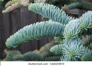 Young shoots of Abies procera glauca (Noble fir) in spring in a botanical garden. Beautiful soft blue silvery colored needles.