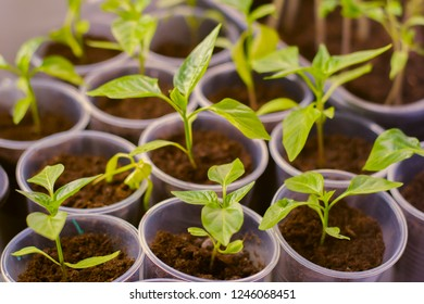 young shoots of bell peppers in separate plastic cups