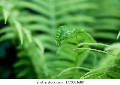 The young shoots of the fern leaves. Beautiful natural background.