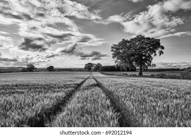The young shoots of grain on the background of the blue sky, Scotland, Livingstone B&W