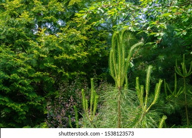 Young shoots with green needles on upper whorl young pine Silvestris pine against background greenery in garden. Selective focus. Sunny day in spring garden. Nature concept for design.