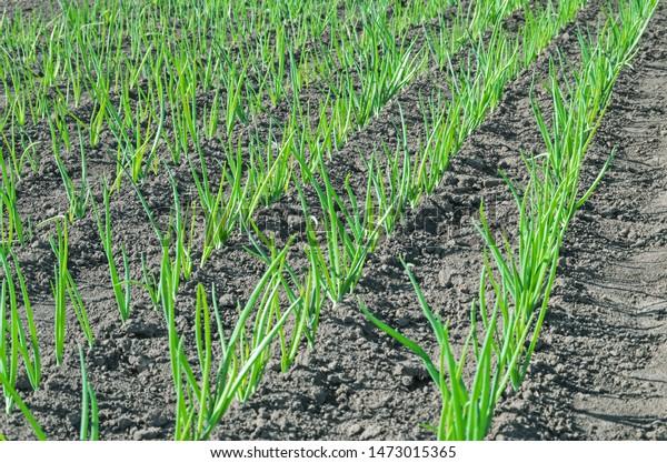young-shoots-green-onions-gardening-600w