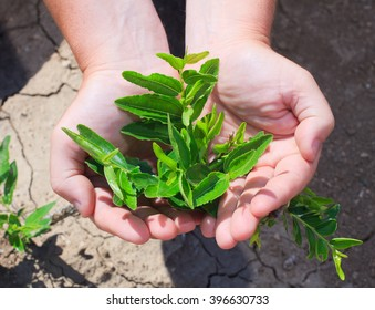 Young shoots Jujubee in the hands of the farmer. The fruit of Zizyphus mauritiana contain vitamins (vitamin A, vitamin B, vitamin C, b-carotene)