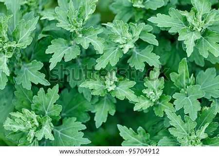 young shoots leaves without flowers chrysanthemum stock photo edit