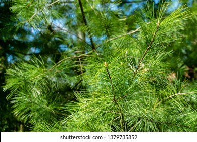 Young shoots on white pine Pinus strobus with long green needles. Sunny day in spring garden. Nature concept for design. Selective focus