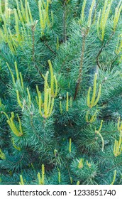Young shoots of pine in early spring.