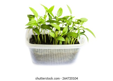 Young shoots of seedlings of peppers in a special container landing isolated on white background