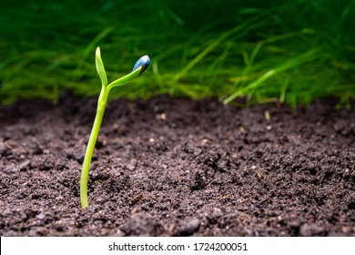 young shoots of sunflower on a background of black soil