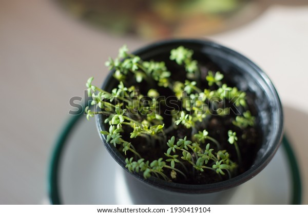 young-shoots-watercress-pots-spring-600w