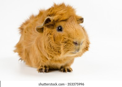 young short haired peruvian guinea pig