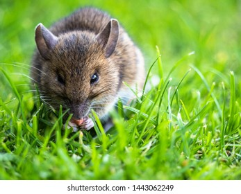 Young Shrew eating some food