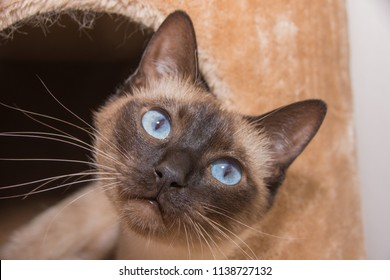 Young Siamese cat looks very pretty