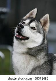 Young Siberian Husky