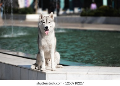 A young Siberian husky male dog is sitting on marble floor near a huge big pool with fountain and looks forward. A dog has grey and white fur and brown eyes. He looks happy.
