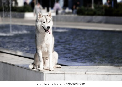 A young Siberian husky male dog is sitting on marble floor near a huge big pool with blue water with fountain and looks right. A dog has grey and white fur and brown eyes. He looks happy.