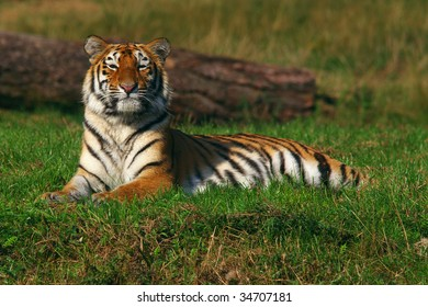 Young Siberian Tiger lying in the grass in front of a fallen tree