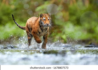 Young Siberian tiger, Panthera tigris altaica, walking in a forest stream against dark green spruce forest. Tiger among water drops in a typical taiga environment. Direct view, low angle photo. Russia
