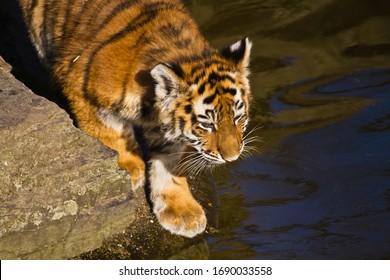 Young Siberian tiger (Panthera tigris altaica)