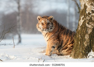 Young Siberian tiger, Panthera tigris altaica in winter landscape, staring directly at camera. Freezing cold. Tiger in snowy environment against birch trees in background lit by early morning sun.