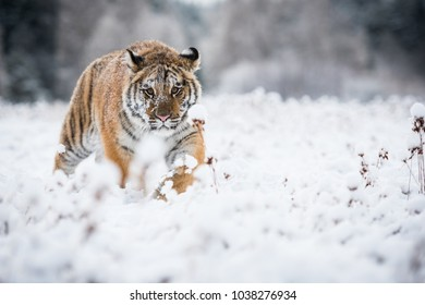 Young Siberian tiger silently walking in snow fields towards the
