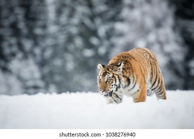 Young Siberian tiger silently walking in snow fields