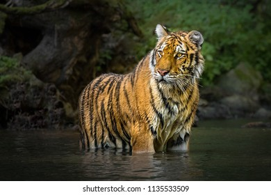 Young Siberian tiger standing in a river. Amazing, dangerous yet endangered mammal. Lovely kitty, stripes, hunting, wet.