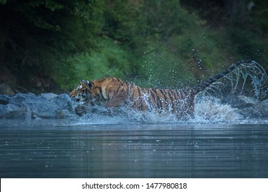 An young Siberian tiger walking on stones and jumping on and off water. Amazing animal, dangerous yet endangered.