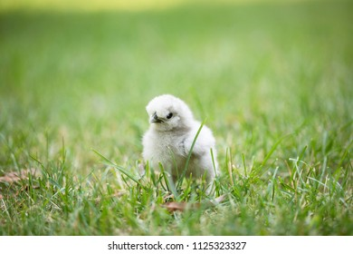 Young silkie chick in grass with shallow depth of field.