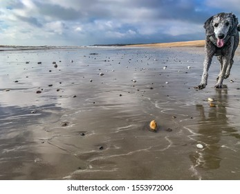 Young silver poodle on a wet sandy beach looking into the camera