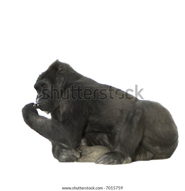 Young Silverback Gorilla in front of a white background
