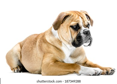 A young six month old continental Bulldog laying against a white background and looking at the camera