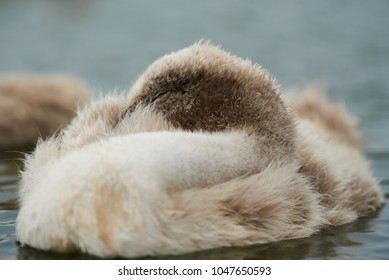 Young sleeping Swan