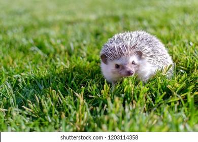 Young small adorable hedgehog posing on the garden grass