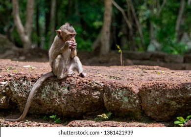A young, small, baby hungry macaque monkey eating and munching a red fruit whilst sitting down on a wall, in Cambodia, South East Asia