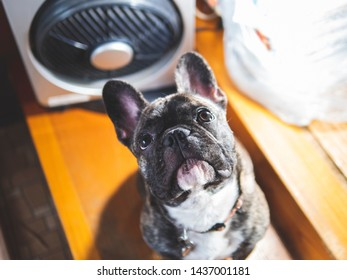 Young  small dog sitting in front of fan in a house and looking up, animal heatstroke prevention in summer concept