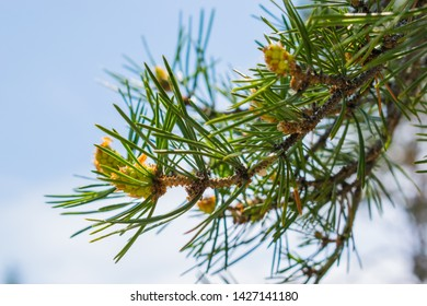 young small green cones and branches in nature against the blue sky on a Sunny day. greens, young green fir cone, coniferous tree on the background of fir needles, fir cone, fir branch,