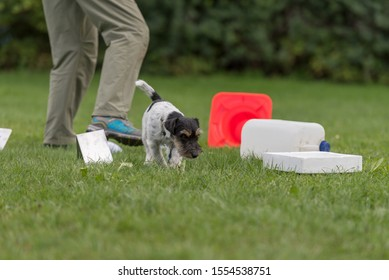 Young small Jack Russell Terrier doggy 1 year old. Little obedient dog retrieves a toy from a crowd of objects