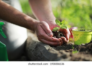 Young small sprout for landing in the ground in hands