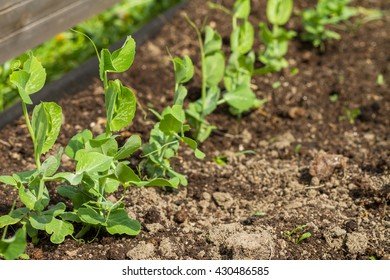 Young small sprouts of peas in a kitchen garden.