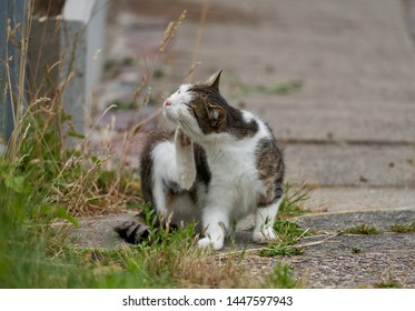 young small tabby and white cat sits on a rural sidewalk and scratches herself