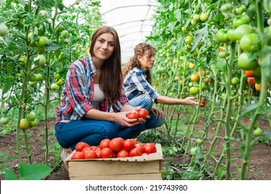 Young smiling agriculture woman worker in front and colleague in back and a crate of tomatoes in the front, working, harvesting tomatoes  in greenhouse.