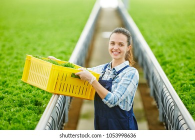 Young smiling female in shirt and overalls holding plastic box with fresh green lettuce in glasshouse