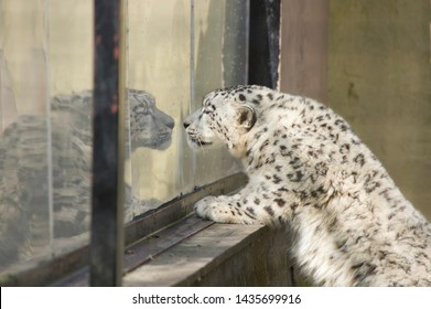 Young snow leopard in captivity looking through window out of boredom
