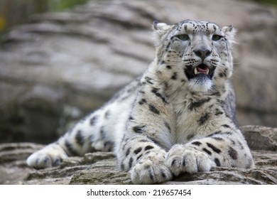 A young Snow Leopard resting on some rocks