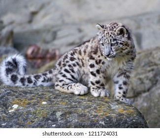 Young snow leopard sitting on a rock