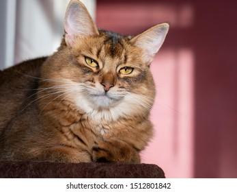 Young Somali cat posing (orange purebred long hair pet portrait)