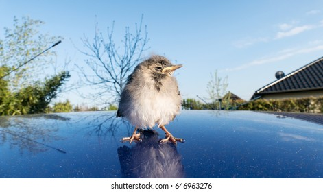 A young songbird stands on a blue Car Roof / young songbird / songbird